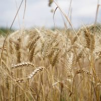 wheat-field-2554357_640